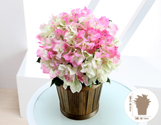 【7月にお届け花鉢】ブーゲンビレア ブライダルピンクの画像