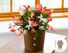 【9月にお届け花鉢】紅白シャコバサボテンの画像