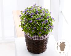 【7月お届け花鉢】エキザカム ブルーの画像