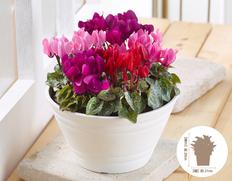 【10月にお届け鉢花】冬のお庭を彩る♪ガーデンシクラメン寄せ植えの画像