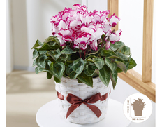 【11月にお届け鉢花】冬のごあいさつ♪お歳暮に最適 シクラメン ビクトリアの画像