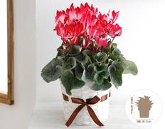 【11月にお届け鉢花】冬のごあいさつ♪お歳暮に最適 シクラメン ラブキャンドルの画像