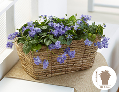 【1月にお届け鉢花】ふわっと良い香り!春の香りを感じられる八重咲きにおいすみれの画像