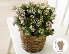 【12月にお届け鉢花】幸運を招く! 金のなる木 花月の画像