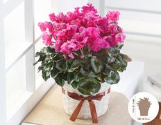 【12月にお届け鉢花】冬のごあいさつ♪お歳暮に最適 シクラメン ひらりすももの画像