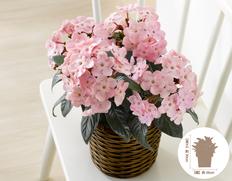 【12月にお届け鉢花】冬のごあいさつ♪お歳暮に最適 ルクリア ココの画像