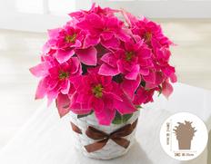 【12月にお届け鉢花】冬のごあいさつ♪お歳暮に最適 プリンセチア ローザの画像