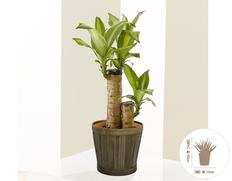 日付指定可!癒しのグリーンをギフトに! 幸福の木(マッサン)5号鉢の画像