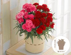 母の日のギフトに贈ろう♪カーネーション「赤桃2色植え」の画像