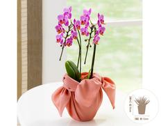 日付指定可!お誕生日などのお祝に最適!胡蝶蘭 ミディ ピンク 2F 風呂敷包みの画像