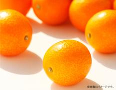 3月 宮崎県産完熟きんかん「たまたまエクセレント」【3月中にお届け】の画像